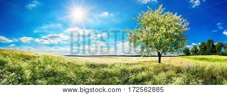 Panoramic landscape: vast meadow in spring with blossoming tree blue sky and the sun