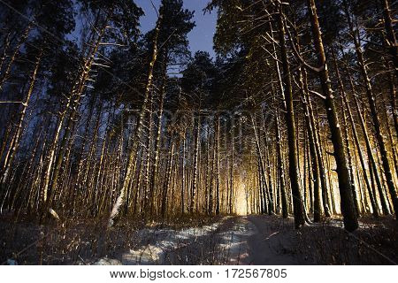 Fabulous night pine winter forest in the snow. Winter time. Heavy snowfall. Trees in the snow. Beautiful landscape. The trunks and branches of trees.