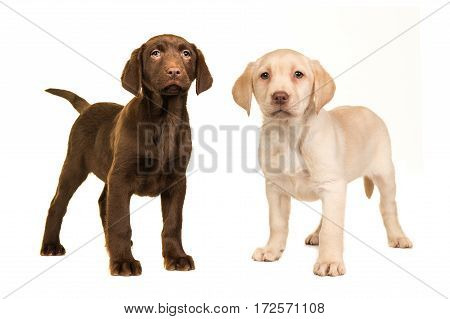 Blond and brown labrador retriever puppy facing the camera standing on an isolated on a white background