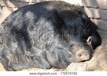 black guinea hog sleeping in sunlight horizontal shot