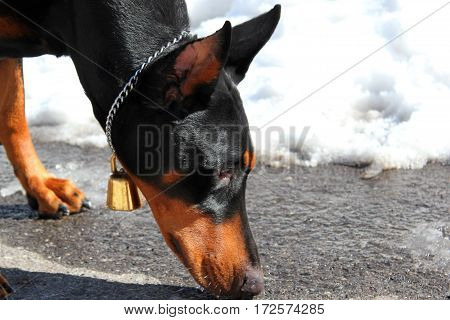 The Doberman pinscher in the snow-covered mountain