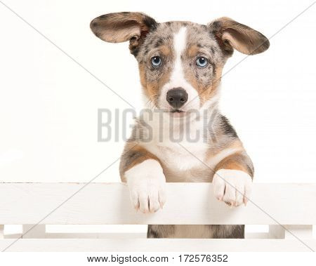 Cute welsh corgi puppy hanging over an white crate facing the camera with blue eyes isolated on a white background
