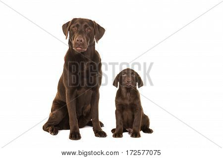 Female chocolate brown labrador retriever dog sitting next to a chocolate brown labrador puppy both facing the camera isolated on a white background