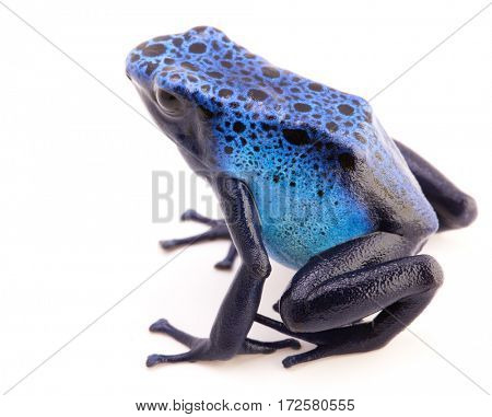 poison dart frog, Dendrobates Azureus isolated on a white background. Poisonous tropical animal.