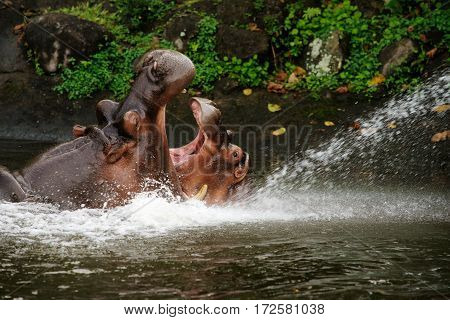Two hippos fighting with mouth wide open in the water at daytime to show who is boss.