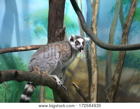 The lemur sits on a tree branch with the tongue hanging out