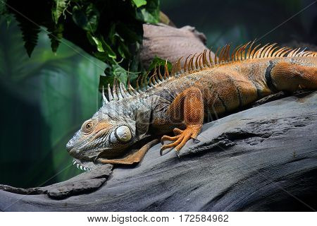 The iguana has a rest lying on an inclined tree trunk