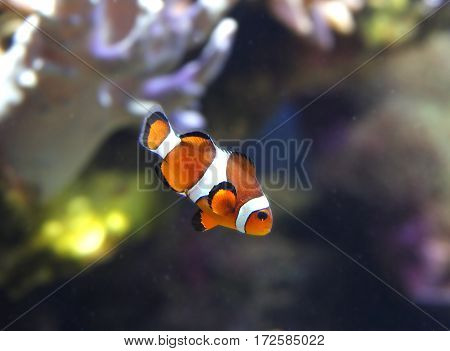 The tropical anemonefish swims about a coral reef