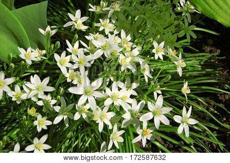 Beautiful Ornithogallum Caudatum Flower
