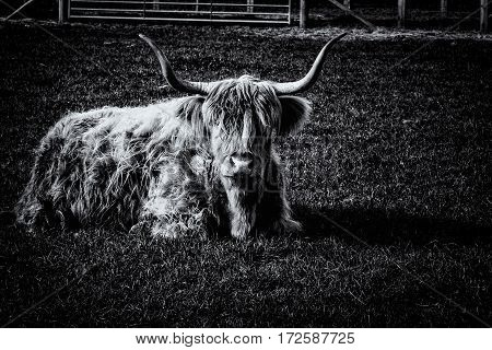 black and white long horned bull laying down