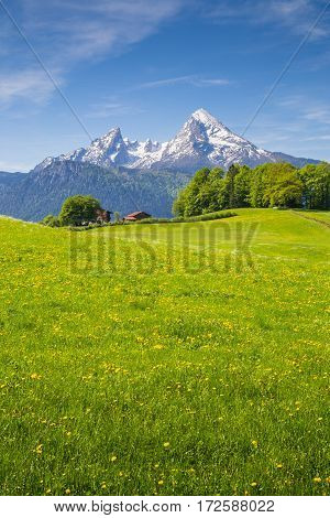 Idyllic landscape in the Alps with fresh green meadows and blooming flowers and snow-capped mountain tops in the background in summer