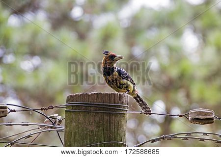Crested barbet bird perched on wooden pole and barbed wire with blurred background
