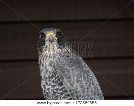 Gyr falcon, the largest of the falcon species