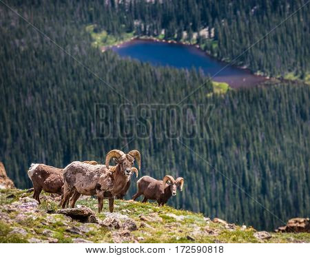 Big Horn Rams high up in the Rocky Mountains of Colorado.