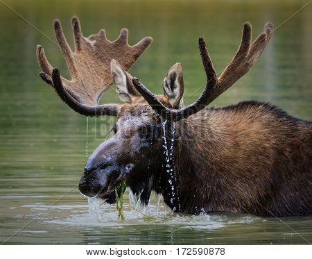 Bull moose feeding in a Rocky Mountain lake.