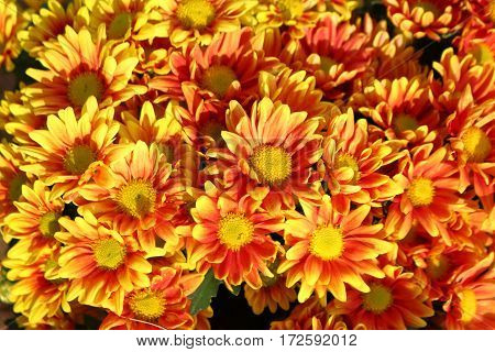 Yellow chrysanthemums many red flowers look beautiful and natural.