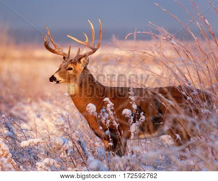White-tailed deer on the plains of Colorado