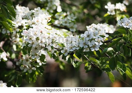 Cherry tree blossom background, closeup of beautiful branch with small white flower buds. Spring nature landscape at blue sky background