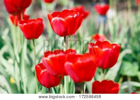 Beautiful scarlet red tulips flowerbed closeup background. Flower background. Summer garden landscape design.