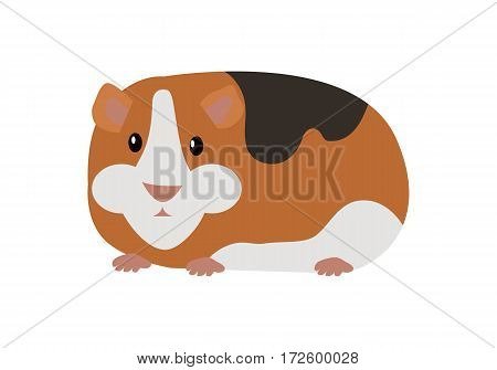 Guinea pig cavia porcellus. Cavy or domestic guinea pig, species of rodent. Plays important role in folk culture of South American, as food source, folk medicine and religious ceremonies. Vector