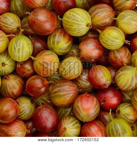 Top view of the red gooseberry fruit. Natural background.