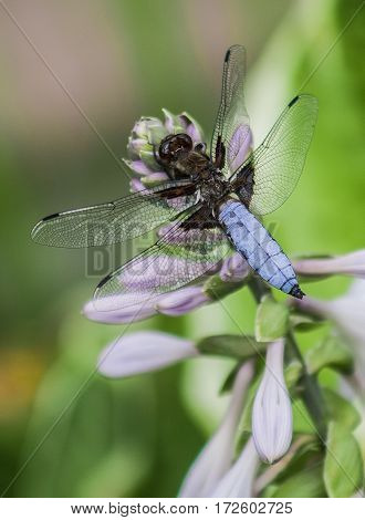 Dragonfly with beautiful wings sitting on a a flower.