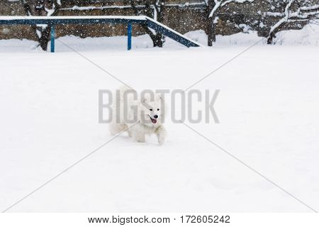 Samoyed dog in the snow goes through the snowdrifts on the playground for dogs