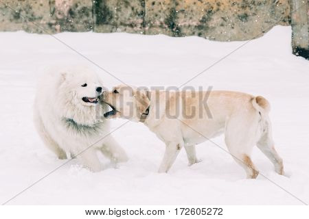 Samoyed dog playing with a dog breed labrador on a snowy winter background