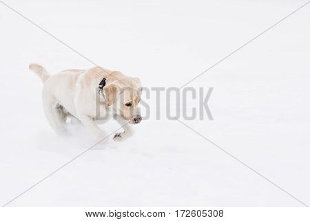 Dog breed labrador in the snow frolics