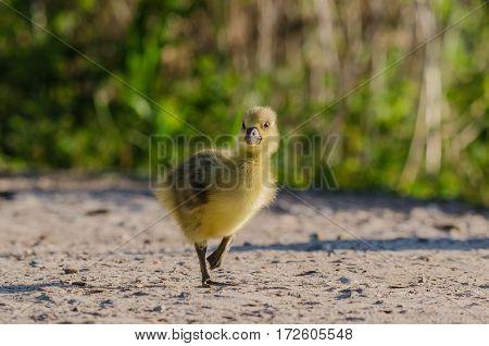 LITTLE GOOSE (GREYLAG) - nestling wild goose on a walk
