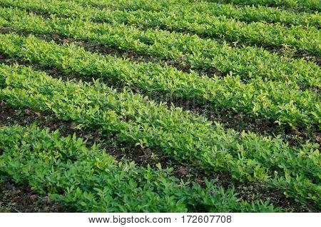 Seedling of chinese kale in vegetable gardening.