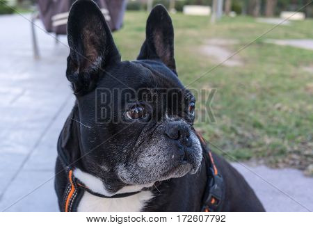 Black French Bulldog with big ears. Large funny ears erect