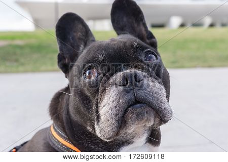 Black french bulldog, looking up pitiful. Looking sideways and turning the head, asking for food