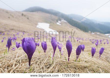 First spring flowers. Blooming violet crocuses in mountains. Carpathians, Ukraine, Europe
