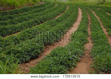Peanut Plantation