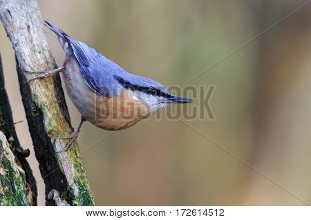 Alert nuthatch perched on a tree stump