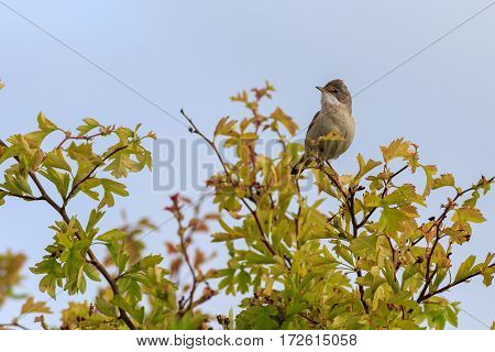 Common Whitethroat (Sylvia communis) perched on a twig singing