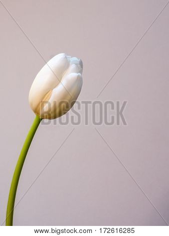 White tulip flower on white background, portrait orientation