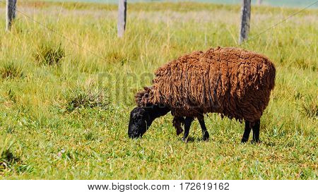 Black Sheep Walking On Grass And Feeding On Green Grass