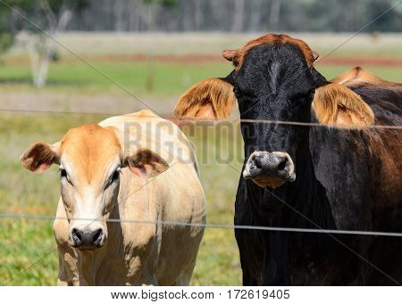 Ox And Cow Behind A Fence Wire On Farm Pasture