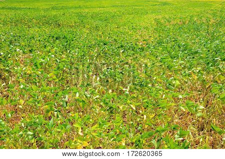 Rural landscape of soybean plantation. Texture of soybean plant.