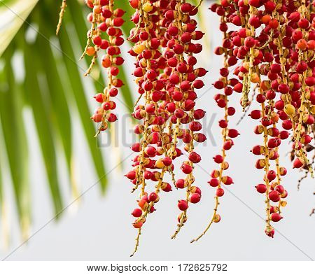 Palm or red betel nuts seed in garden