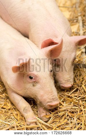 Two Piglets Laying On The Hay