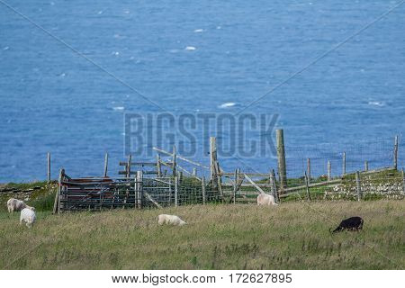 A few sheep graze near the fence on the hill. Against the background of the sea. Exmoor. UK