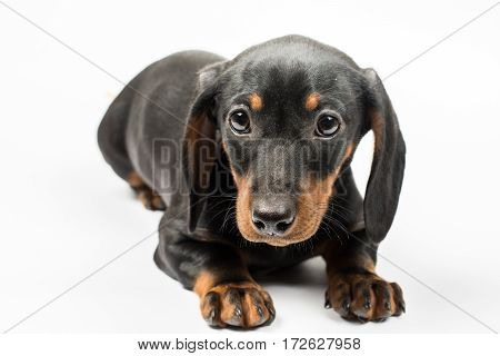 Portrait Of Black Puppy Dachshund With Sad Look Over White Backg