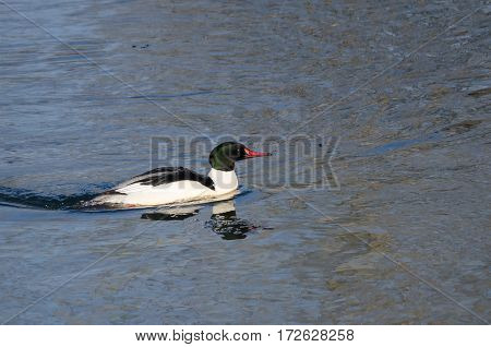 Common Merganser Swimming in the Cold Blue Water