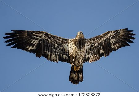 Young Bald Eagle Flying in the Blue Sky