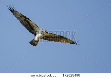 Lone Osprey Flying in the Clear Blue Sky