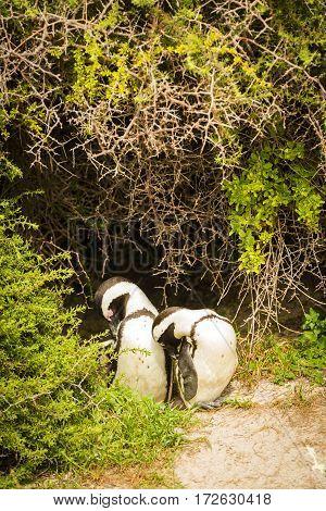 African Penguin Couple