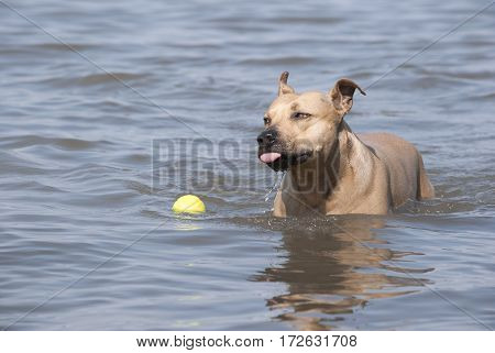 happy playful dog swimming and playing with tennis ball in water on sunny day